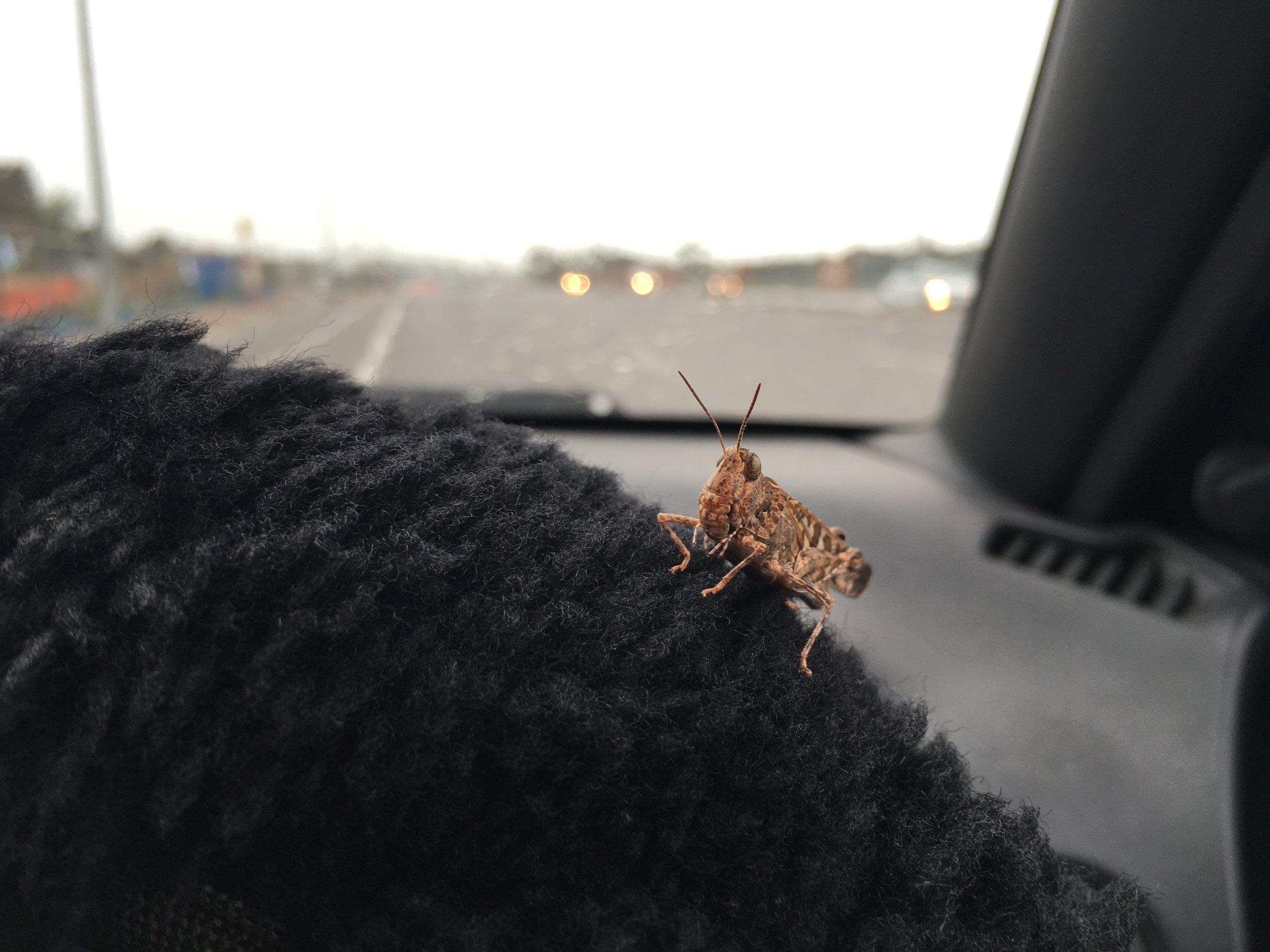 a lone locust…