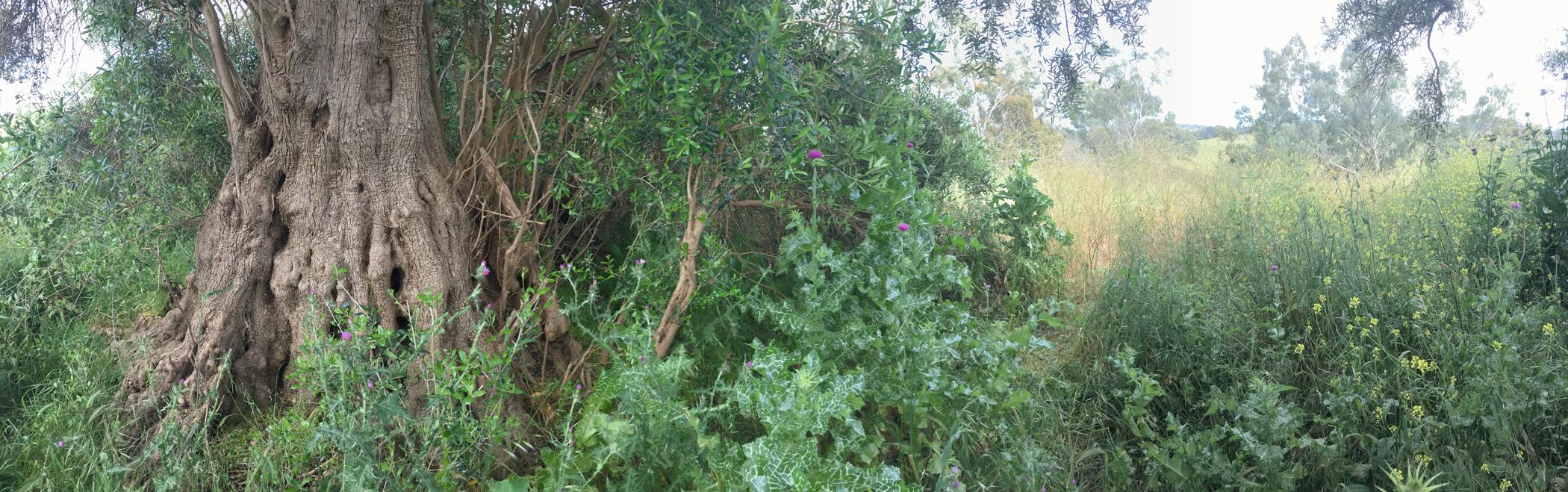 south olive tree boundary