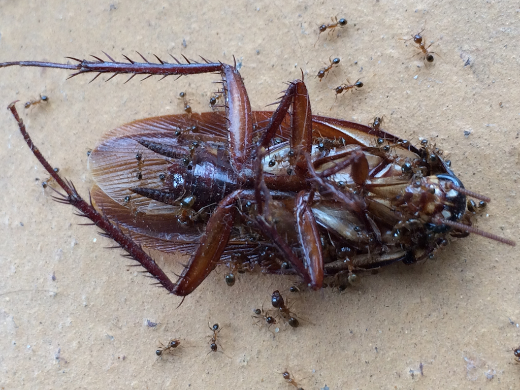 Big headed ant (also called coastal brown) feeding on a cockroach