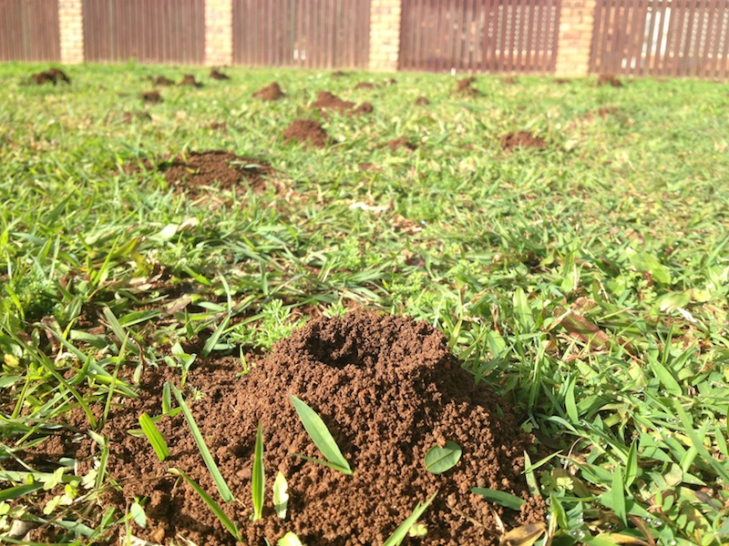 Funnel ant nests
