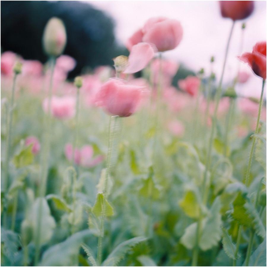 SiegridCain.PoppiesSummer2015_0008.jpg
