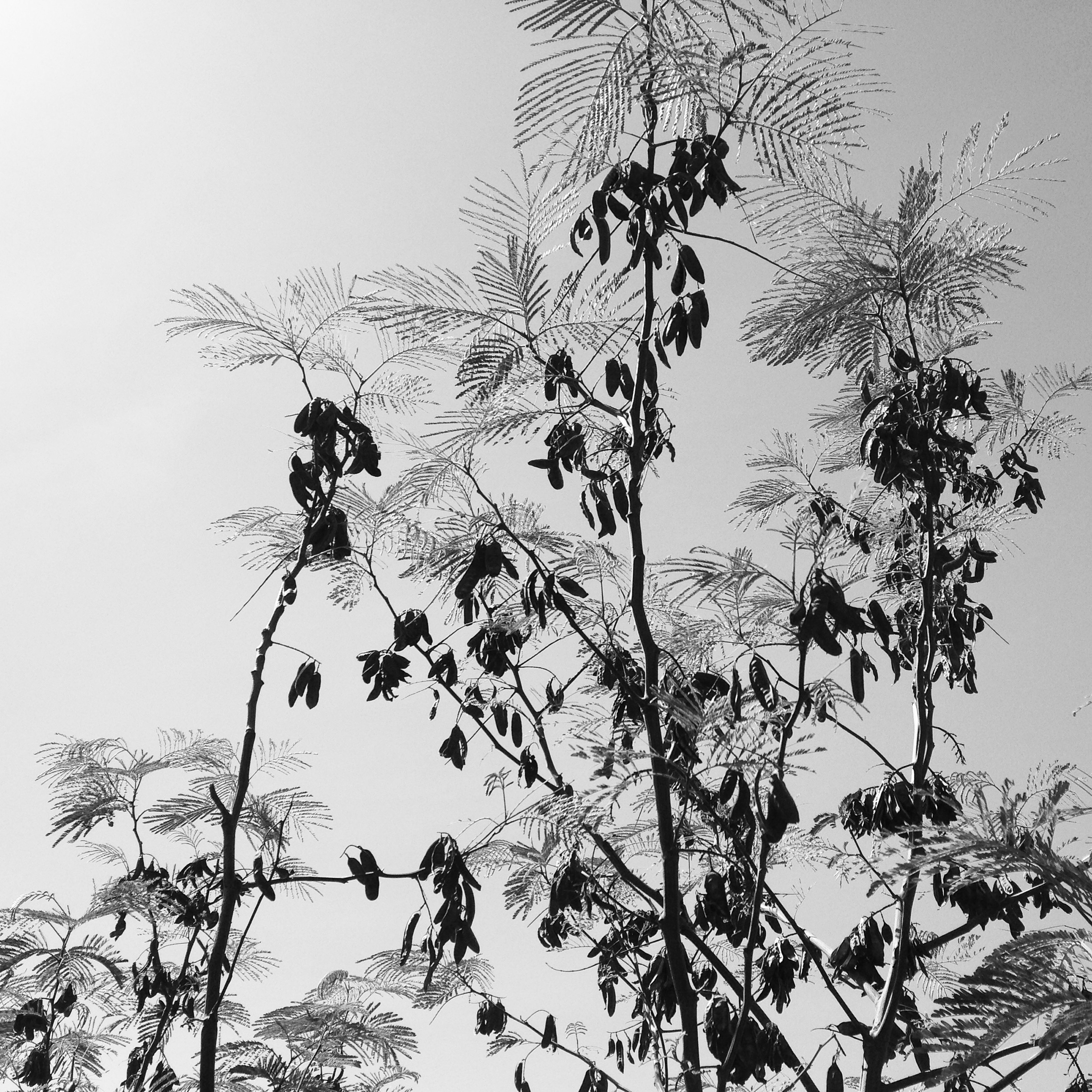 Silhouette of branches and leaves against clear skies.