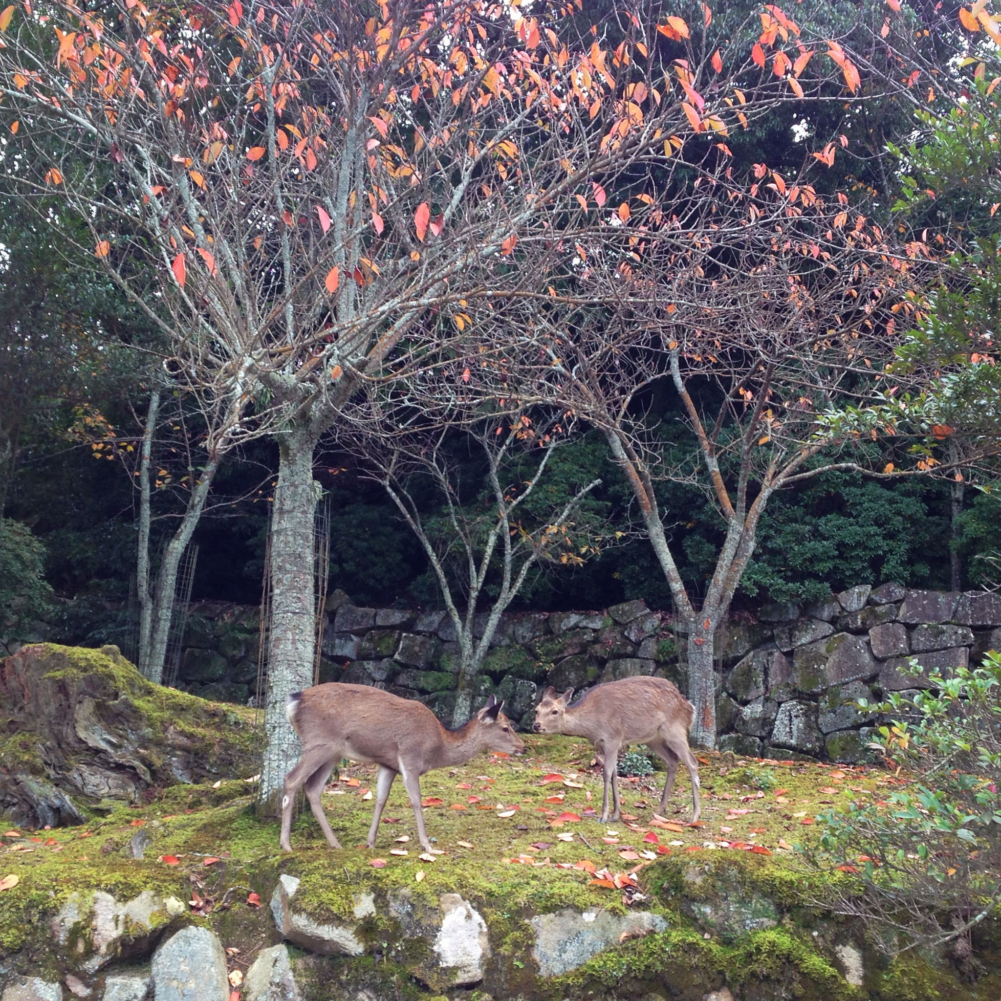 Deer in Miyajima, Japan. Photo by Lindsay McDonagh