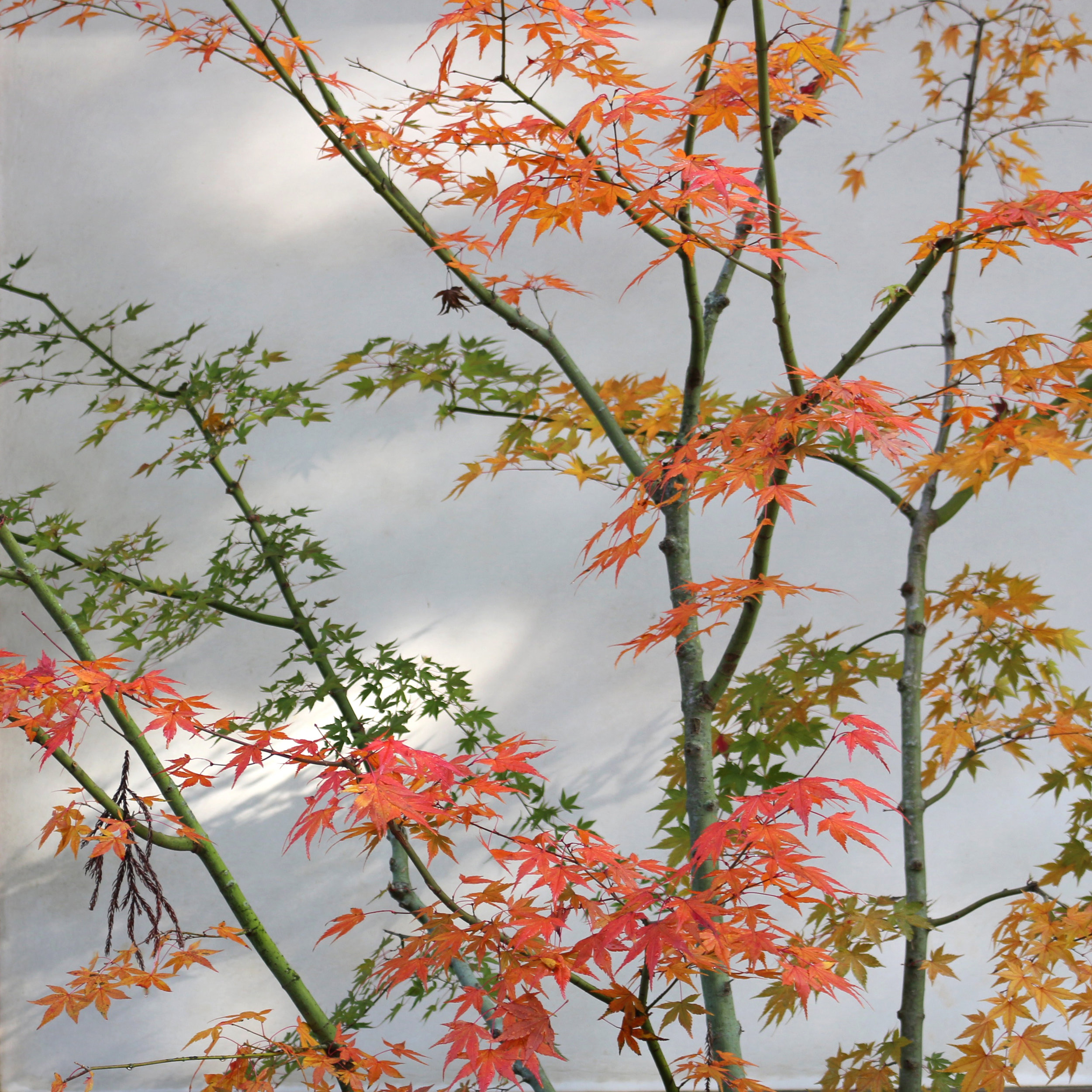 Japanese Autumn leaves. Photo by Lindsay McDonagh