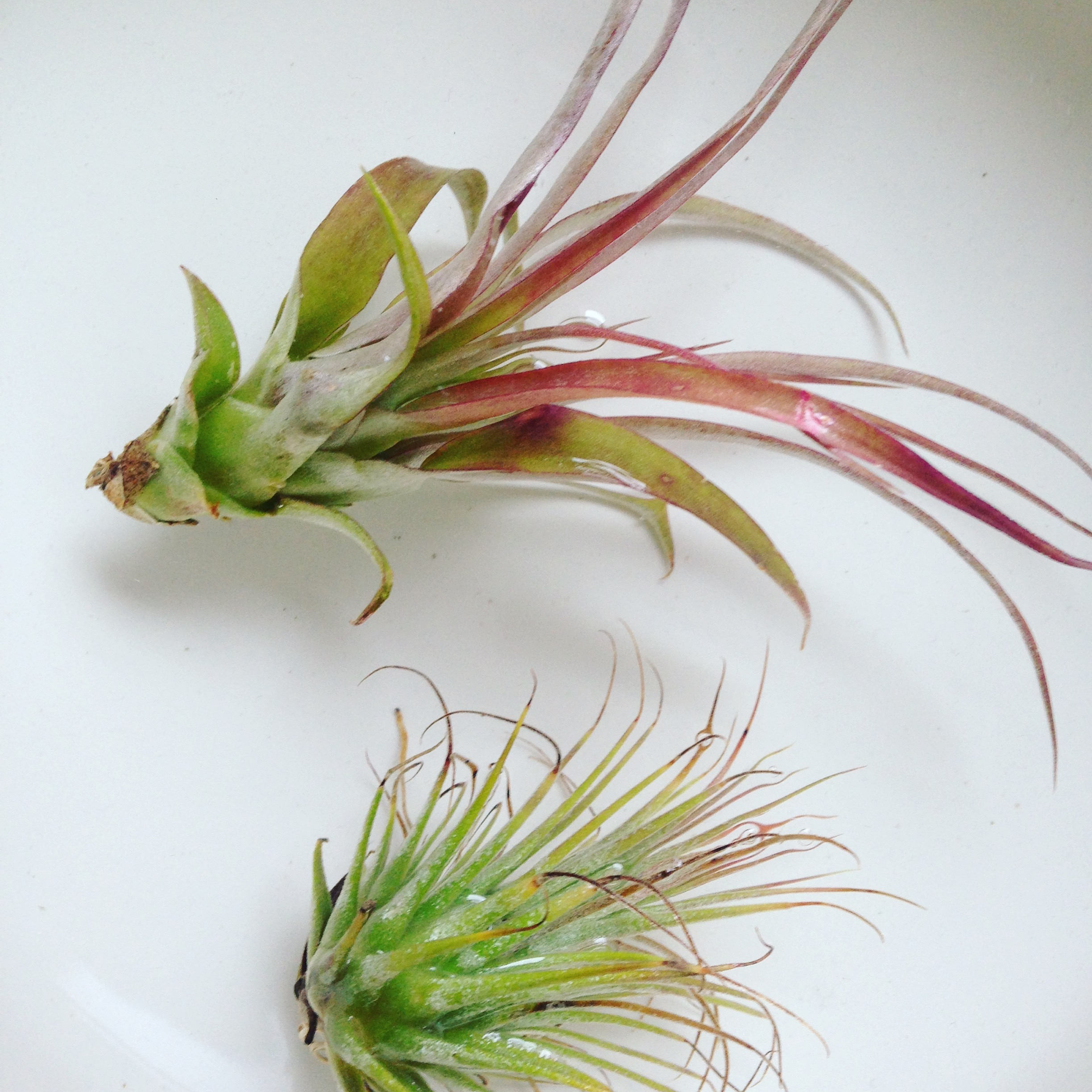 Air plant, photography by Lindsay McDonagh