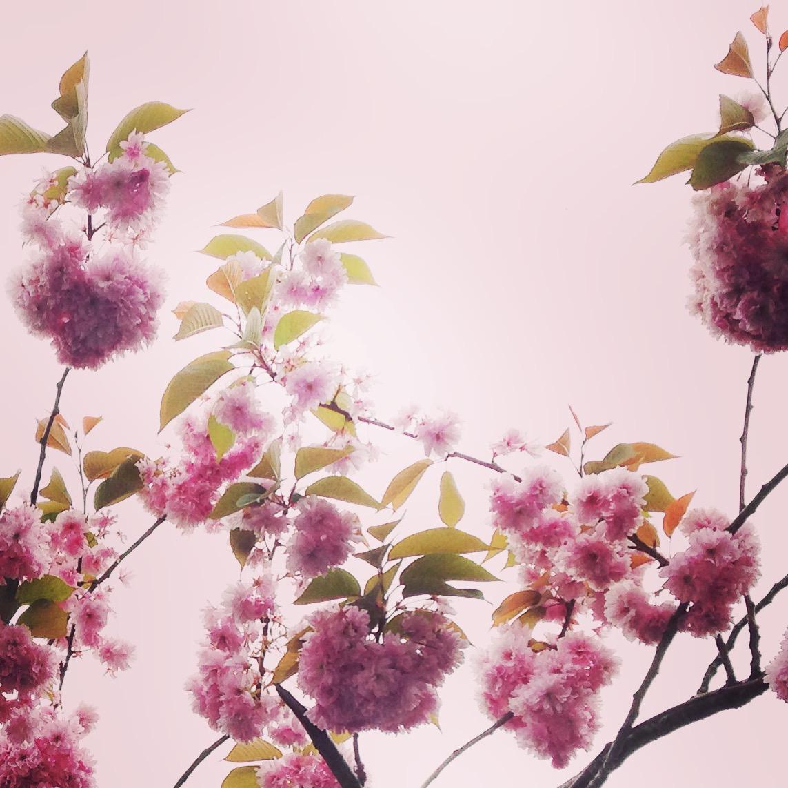 Blossom by Lindsay McDonagh