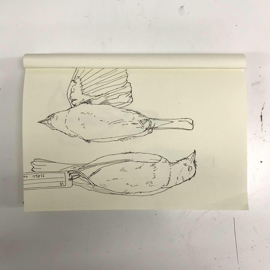 Bird pen drawings Lindsay McDonagh