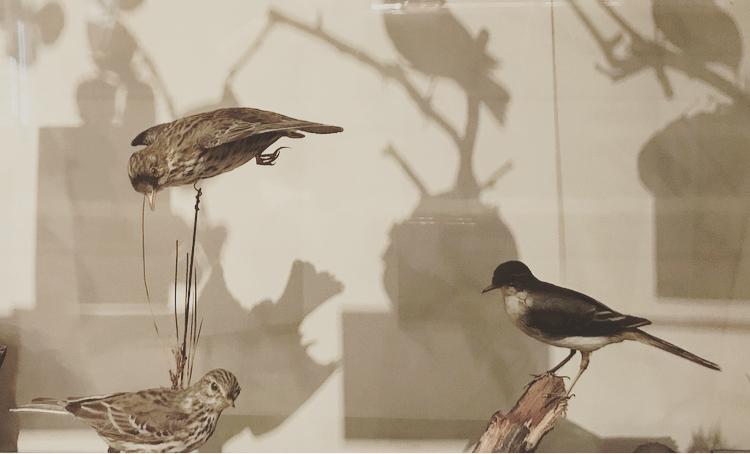 Museum Birds Lindsay McDonagh