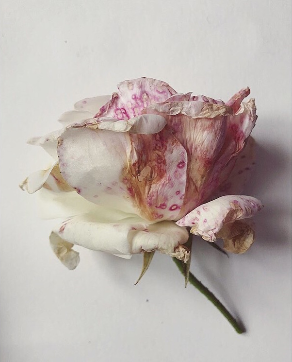 Decaying white roses Lindsay McDonagh.jpeg