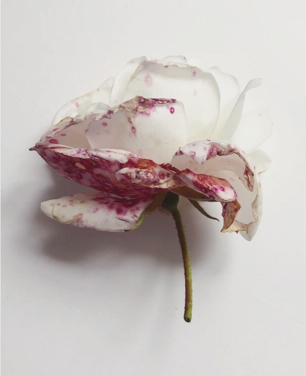 Decaying white roses Lindsay McDonagh
