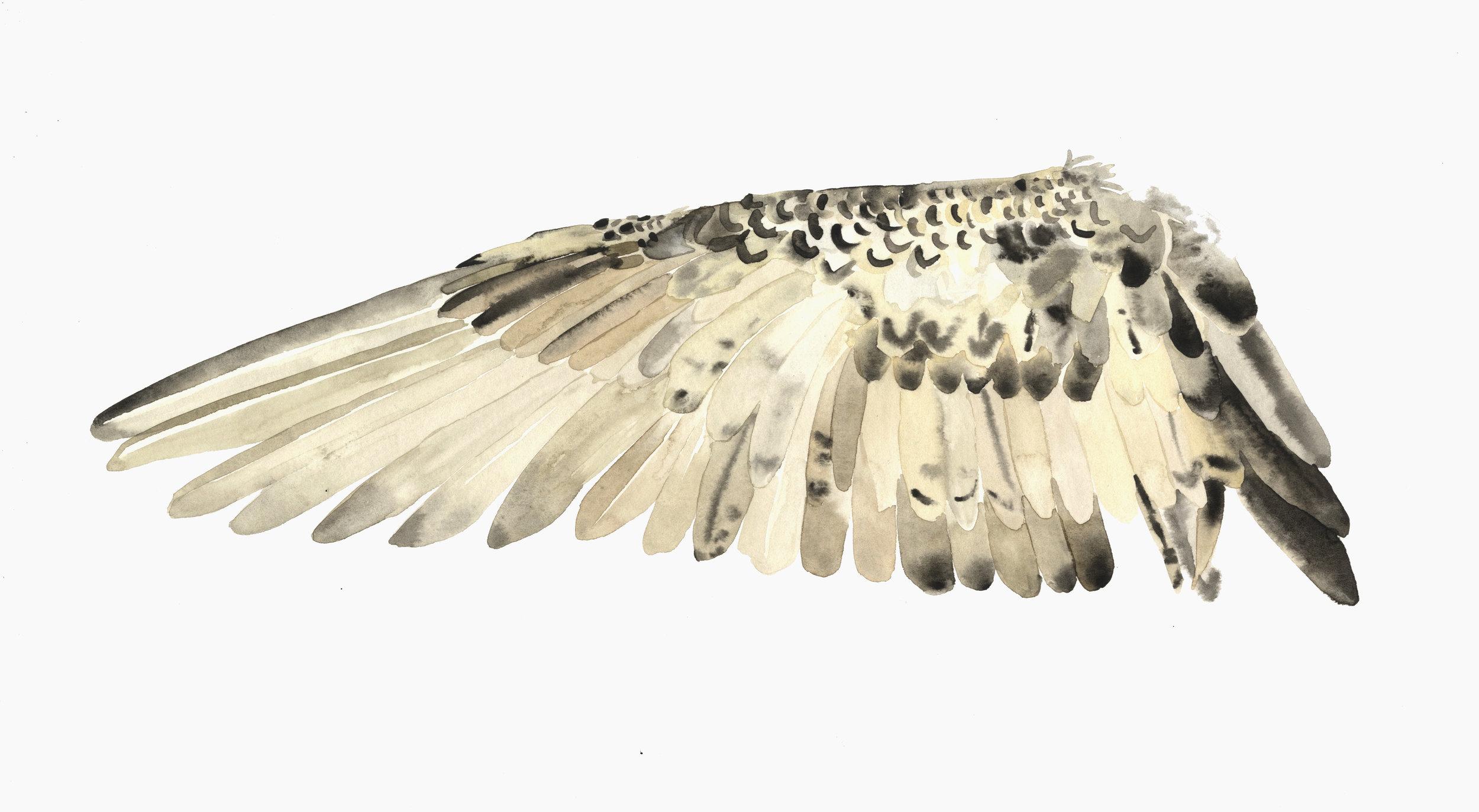 wing study Lindsay McDonagh.jpg