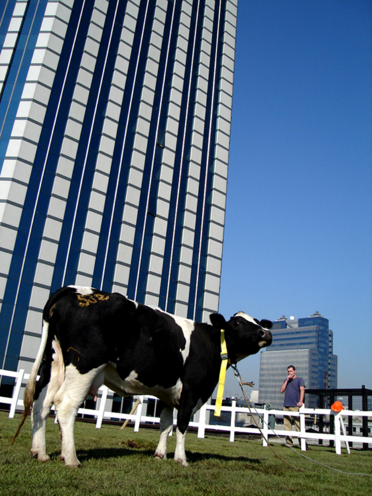 2005  Collaboration with Solo Colectivo   Rescued from its inevitable death in a slaughter house, this cow was taken to a recreated farmon top of a 10-story building in the center of Santiago, Chile. The cow was given a secondchance at life, this time on top of the city—an improbable reality for a cow. Its new found life asa rural icon in a big city challenges our own urban daily routines. The building that is now hometo the cow is strategically located within view of Chile's religious, political, and economical powers, forcing both the local authorities and population to stop and look.