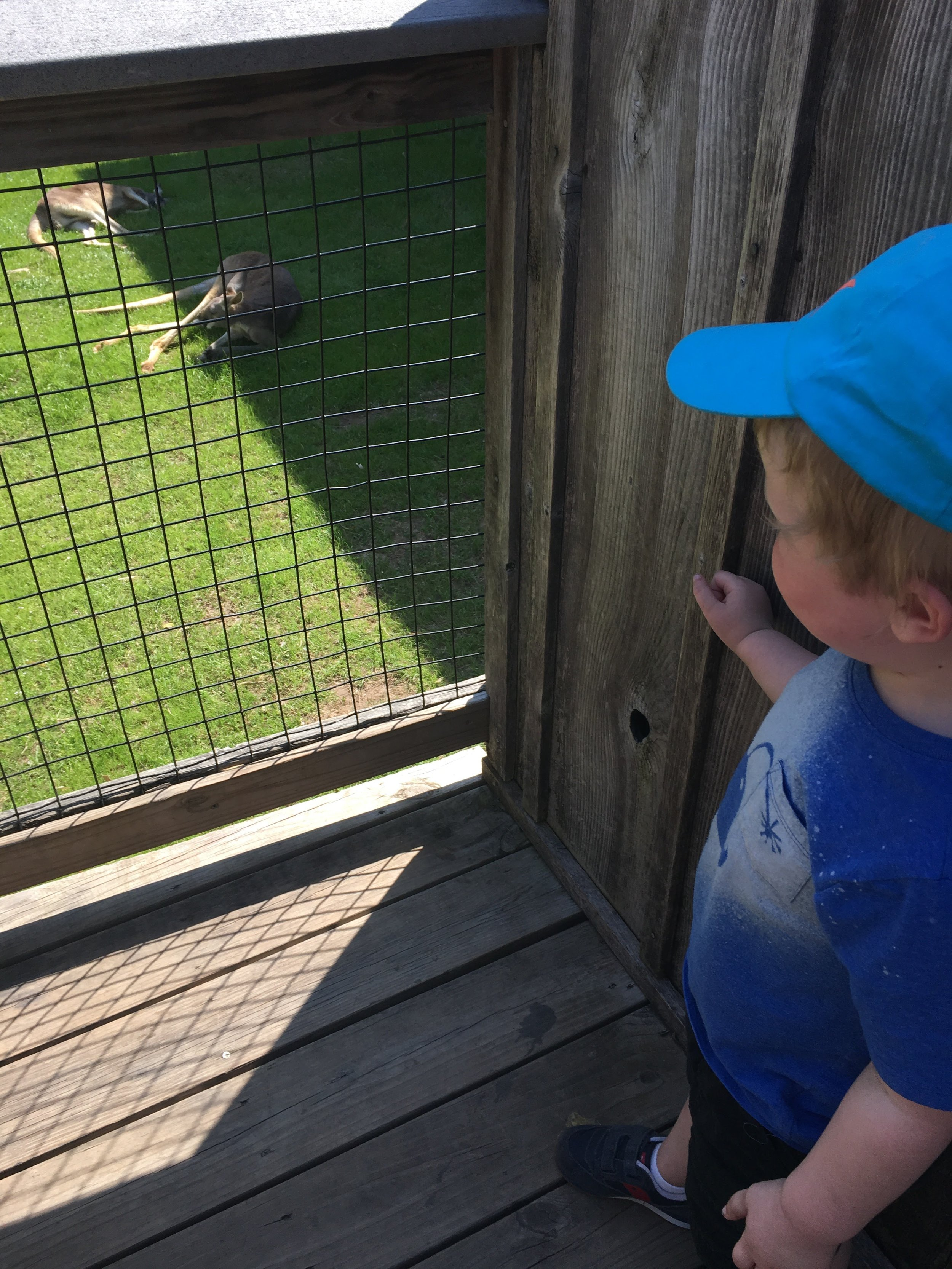 Watching a sleeping kangaroo at the Ft. Worth Zoo