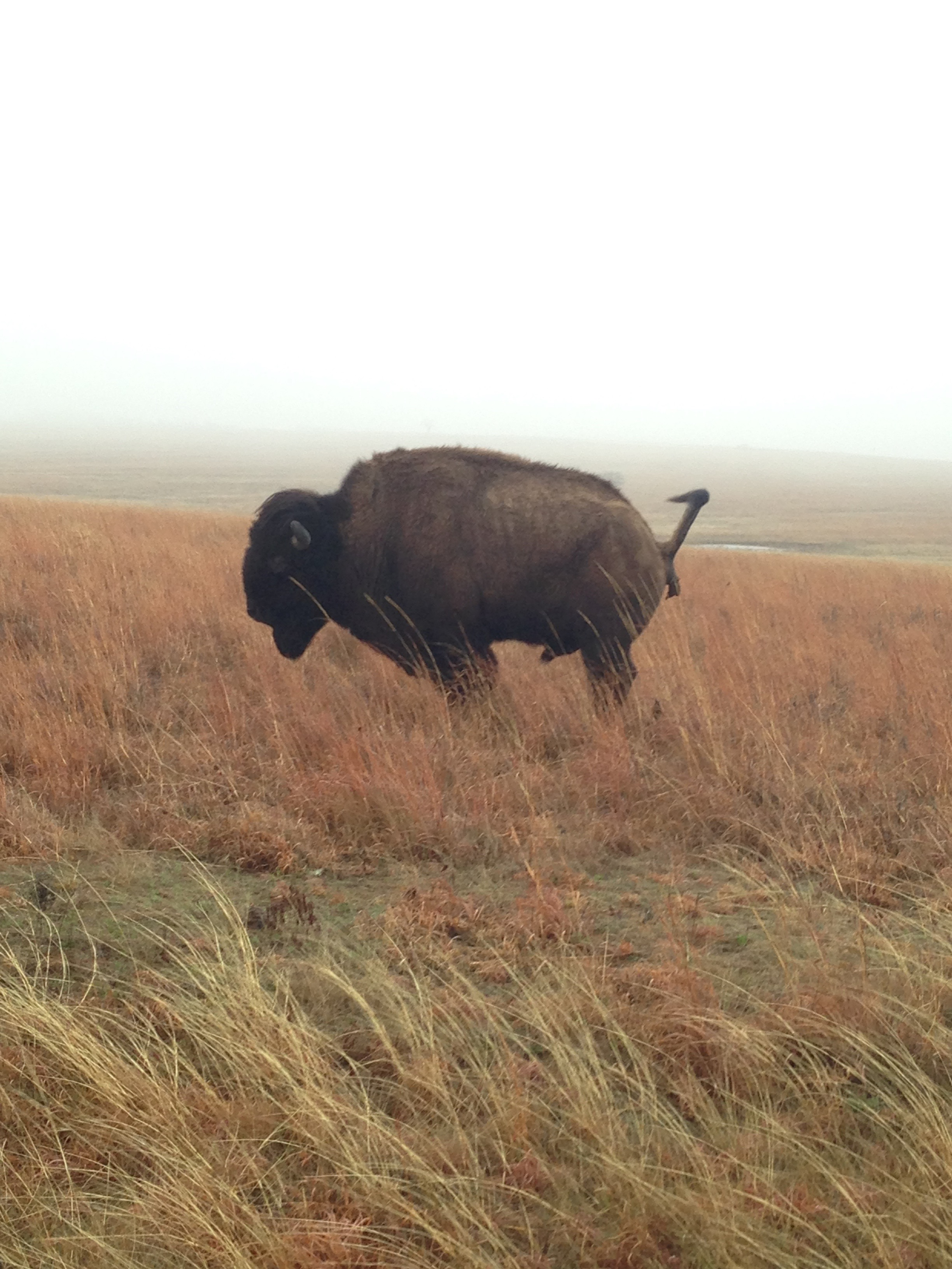 Oh yeah, we saw a pooping bison. Highlight of the trip.