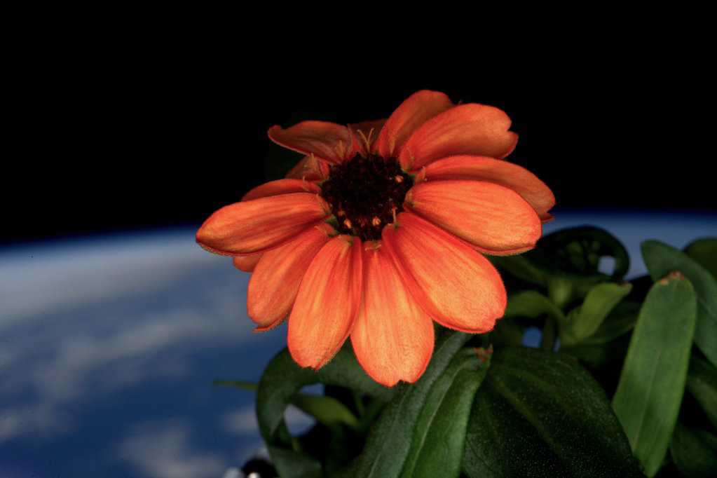 The zinnia, an edible plant, is the first flower to ever blossom in space. Photograph by Scott Kelly.