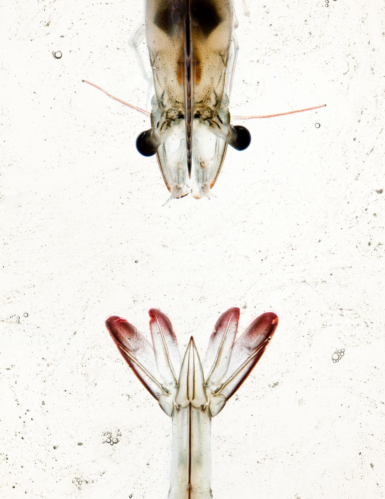 Sky8 Shrimp photographed by Adam DeTour