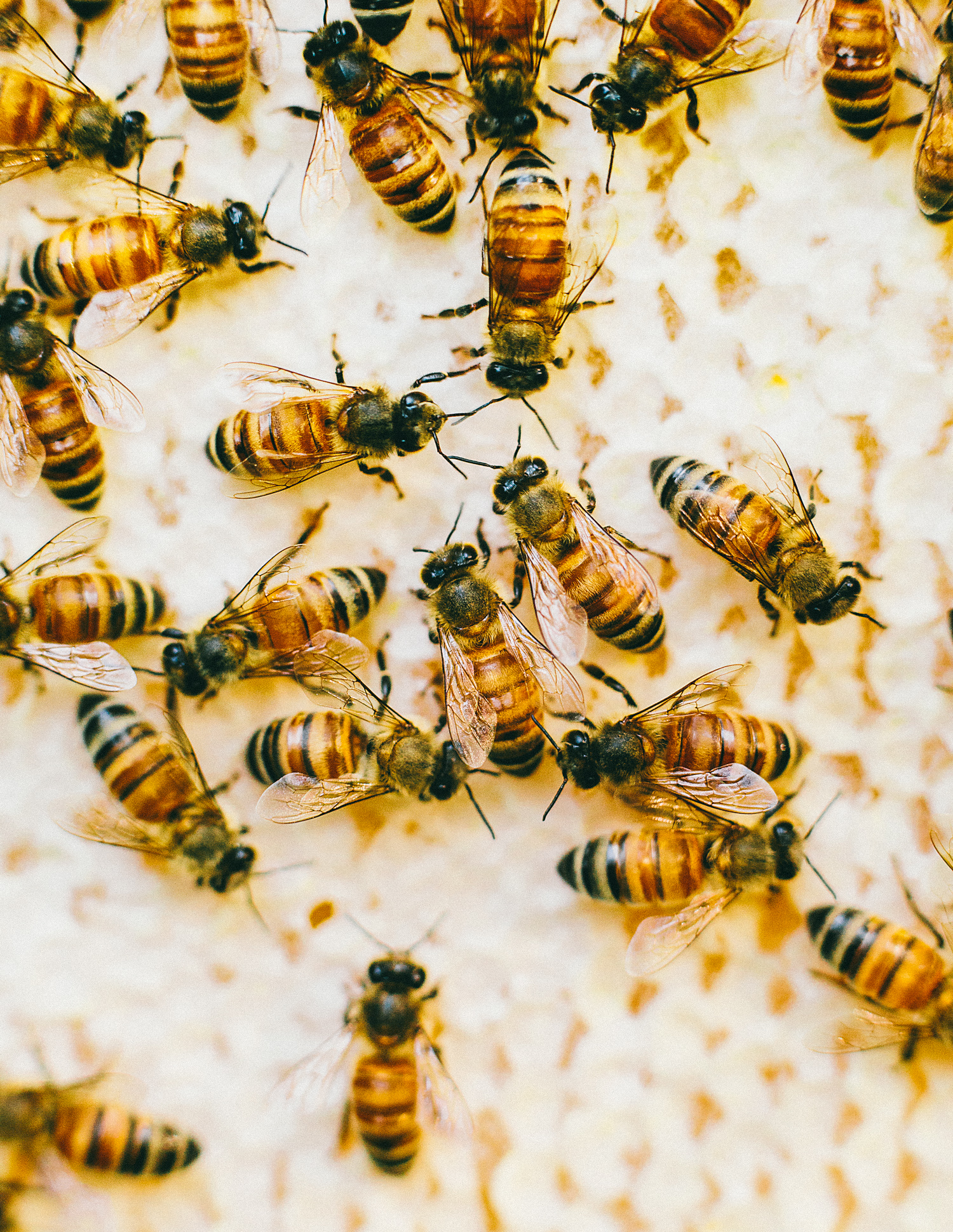 Bees photographed by Adam DeTour