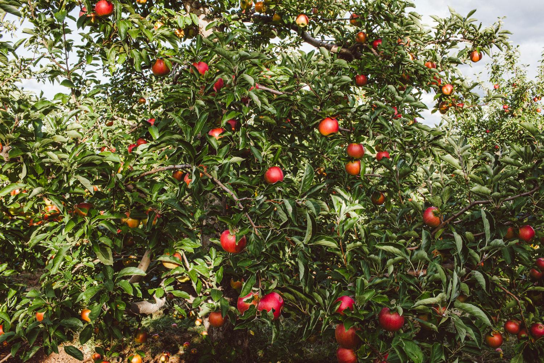 Apple orchard photo by Adam DeTour