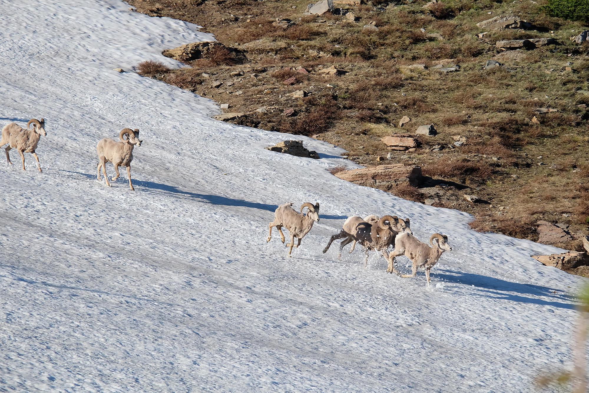 Long horned sheep gallop through the snow of Glacier National Park