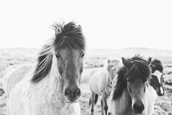 Icelandic Horses in Black and White