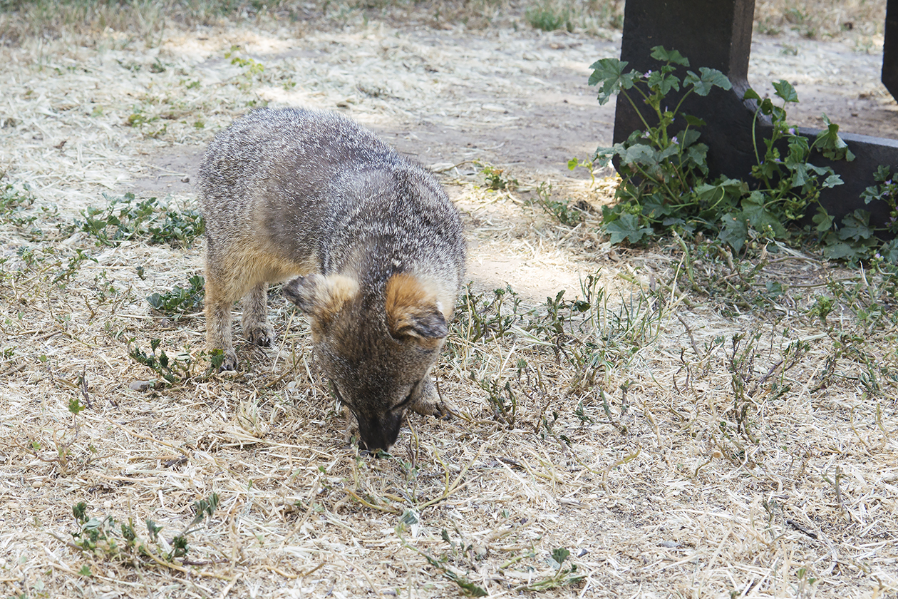 The island Fox. Cute little scavengers that will steal your food.