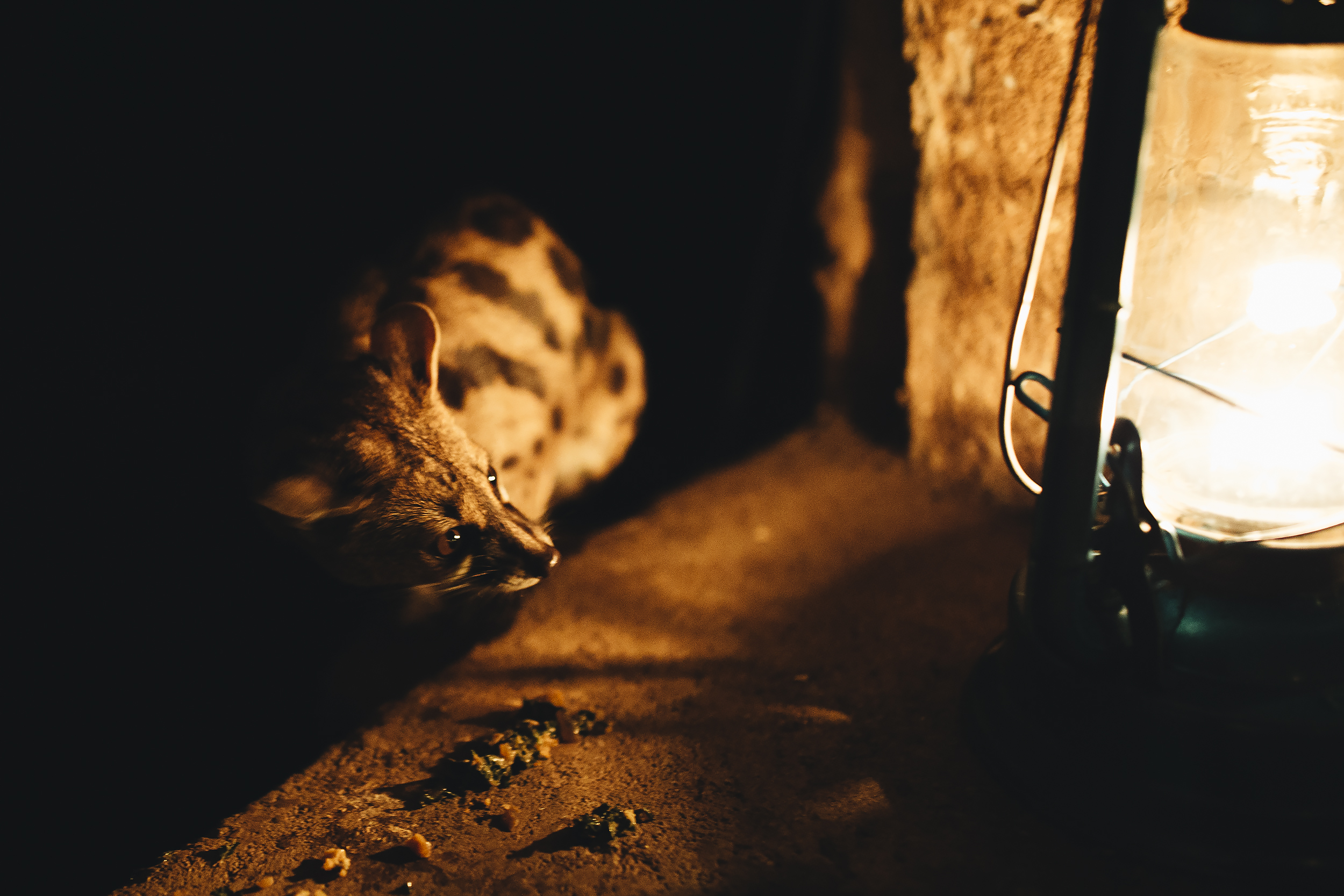 This is the cute Genet we saw every night that we ate dinner at camp
