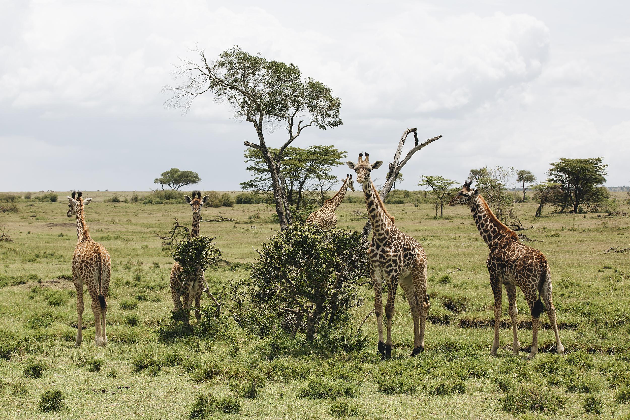 Baby Giraffes Grazing