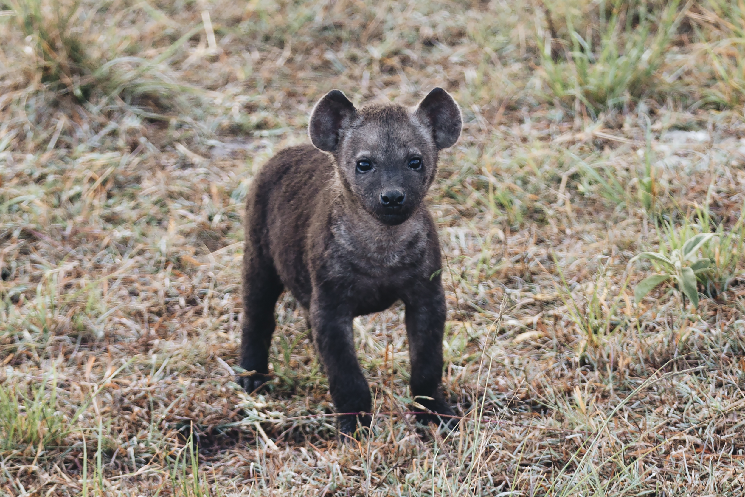 "I Call This Baby Hyena ""Little Bear"""