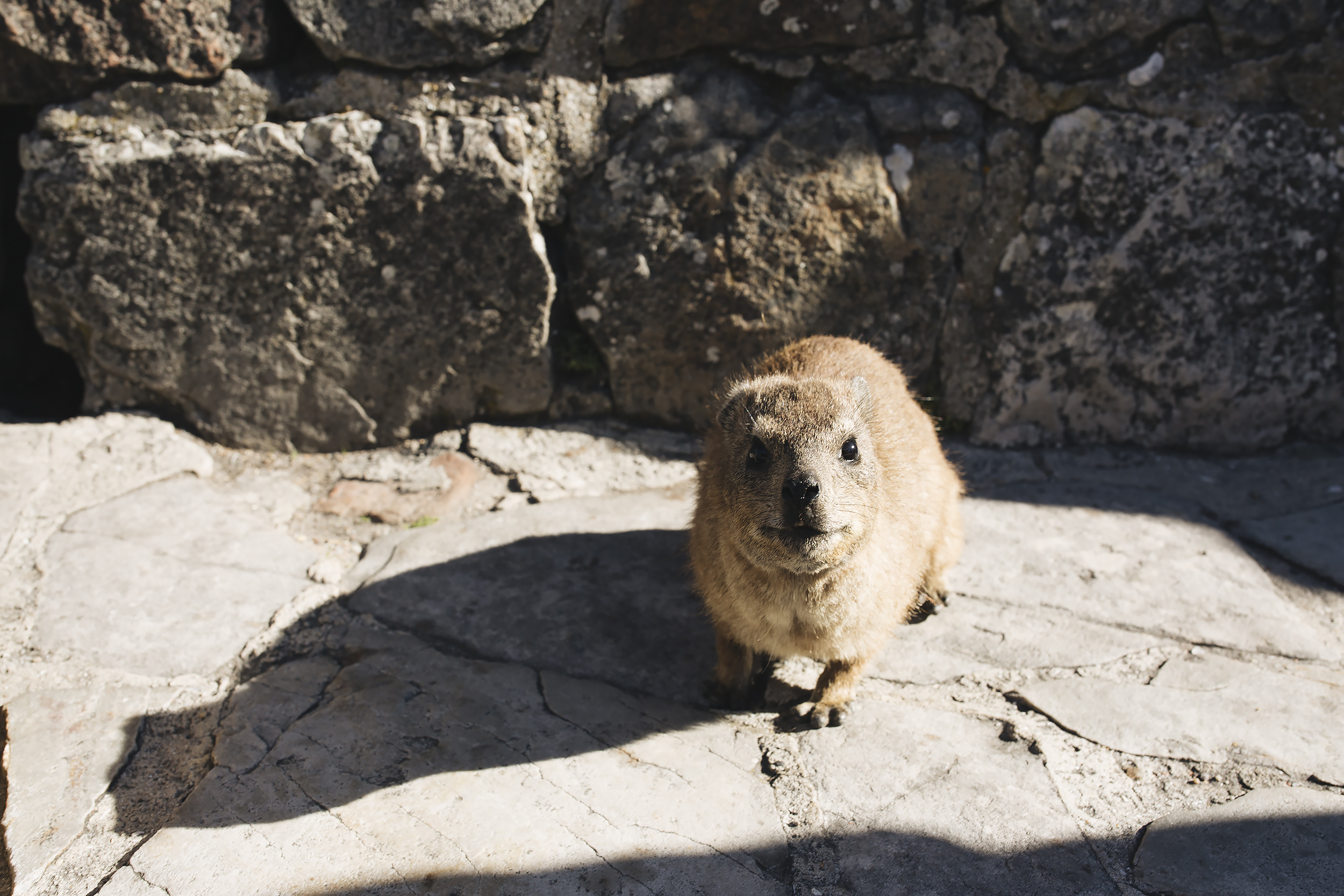 Little furry creatures called Rock Hyrax's