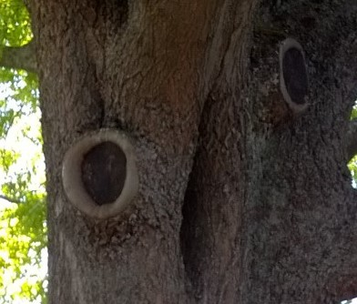 Figure 2: Tree hollows
