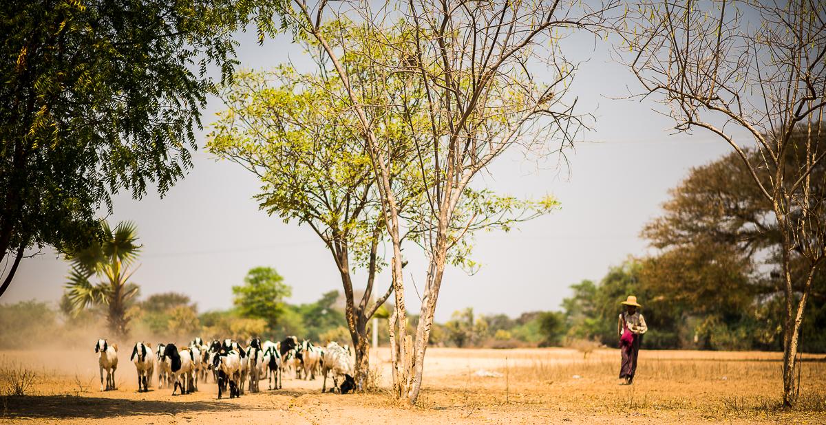 Goat Herder. Bagan, Myanmar