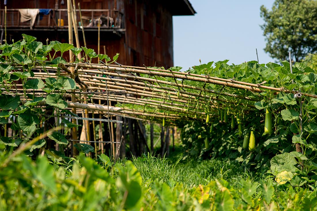 Squash crop in a floating garden. Inle Lake, Myanmar