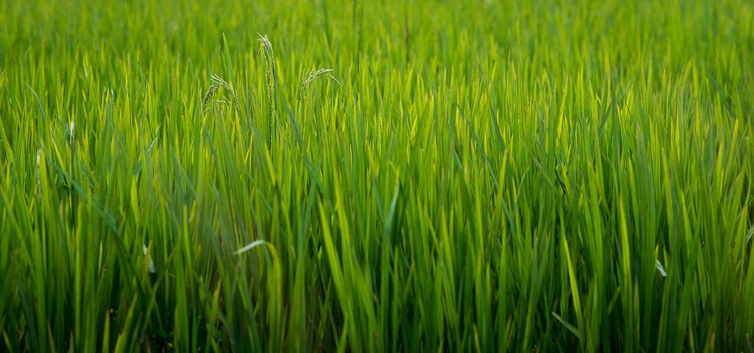 Rice Paddies. Hoi An, Vietnam