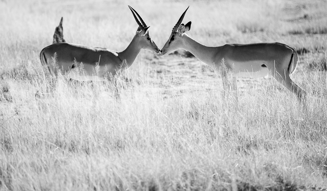 Impalas making up after a fight...