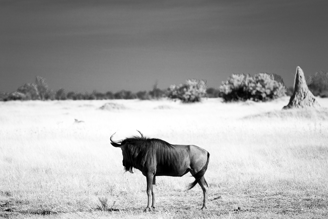 Lone wildebeest on the pan