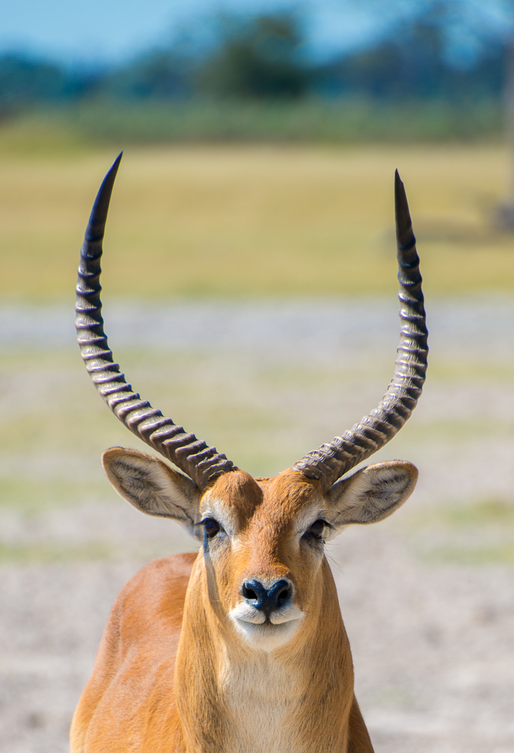Male Red Lechwes staring me down. A type of antelope.
