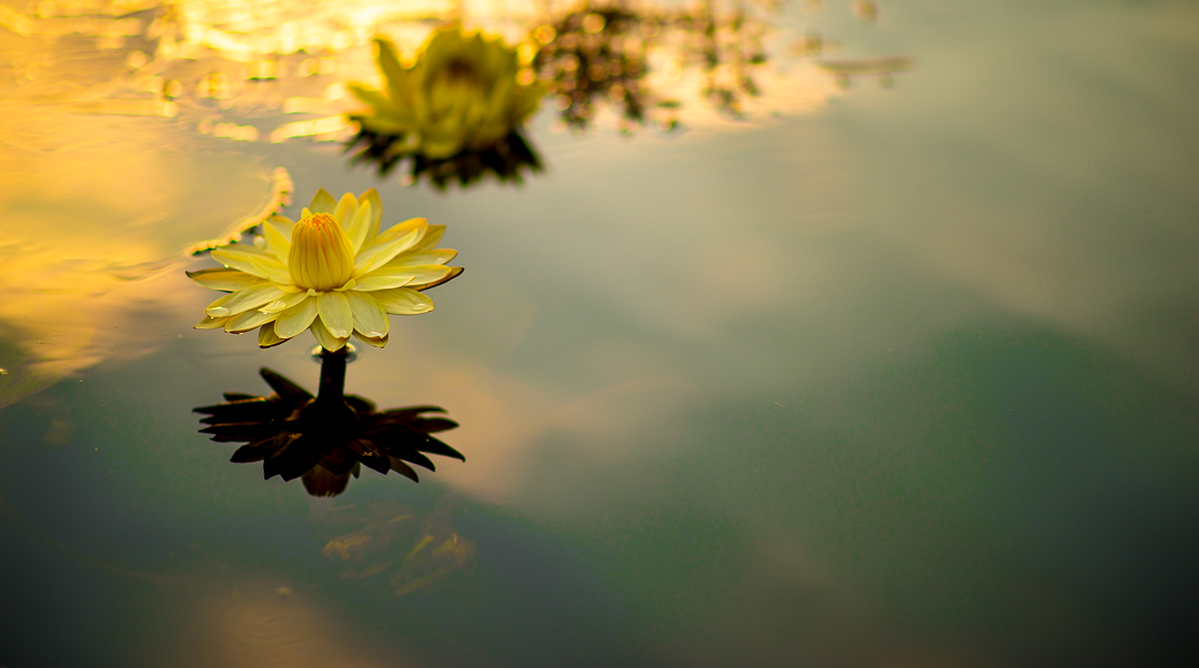 Night water lily on the Okovango Delta