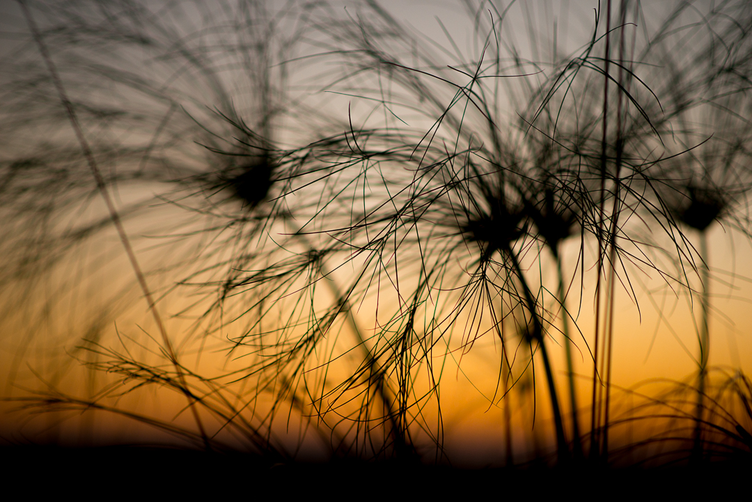 Papyrus grass in the sunset on the Okovango Delta