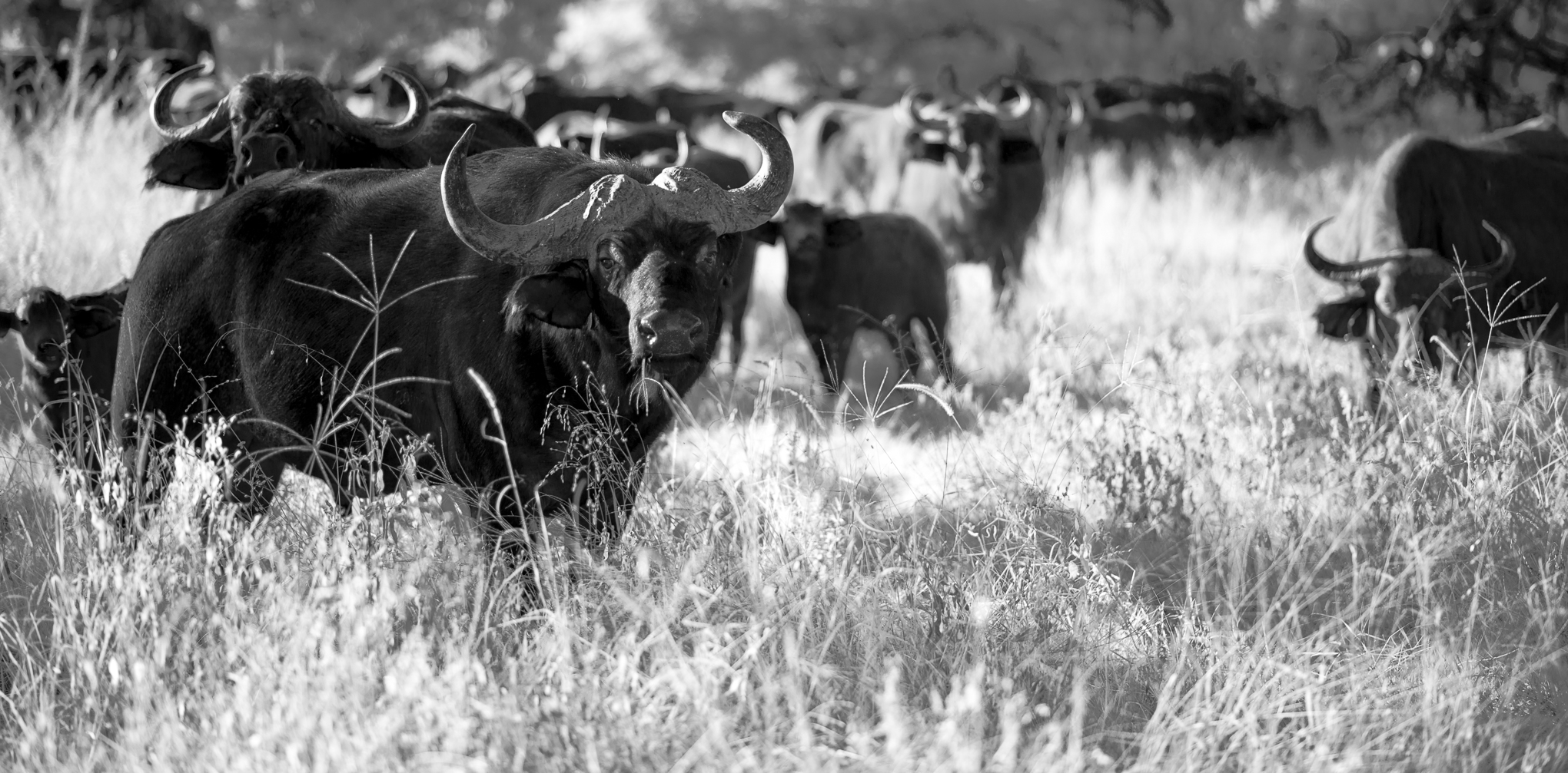 Herd of Water Buffalo