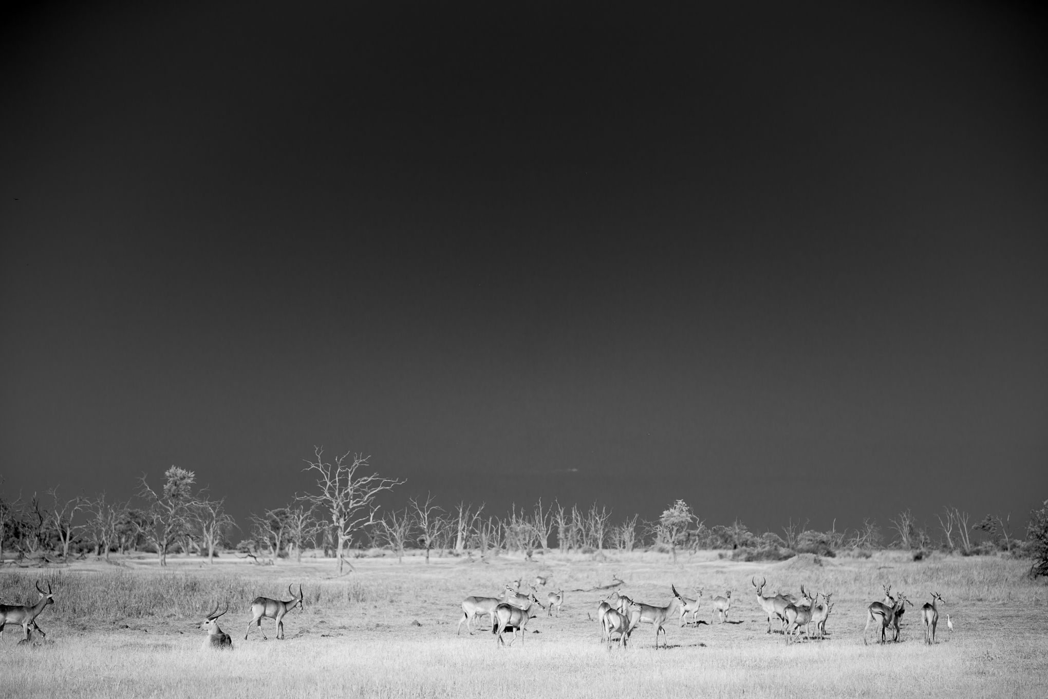 Herd of Red Lechwe on the dead pan