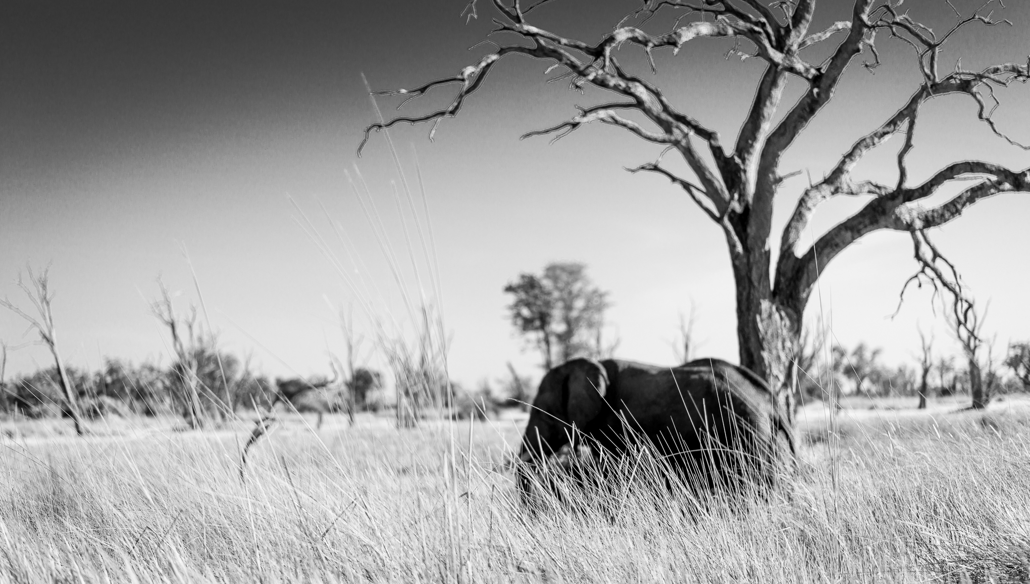 Final elephant photo on the dead pan.  This is not the elephant that had the baby the night before.