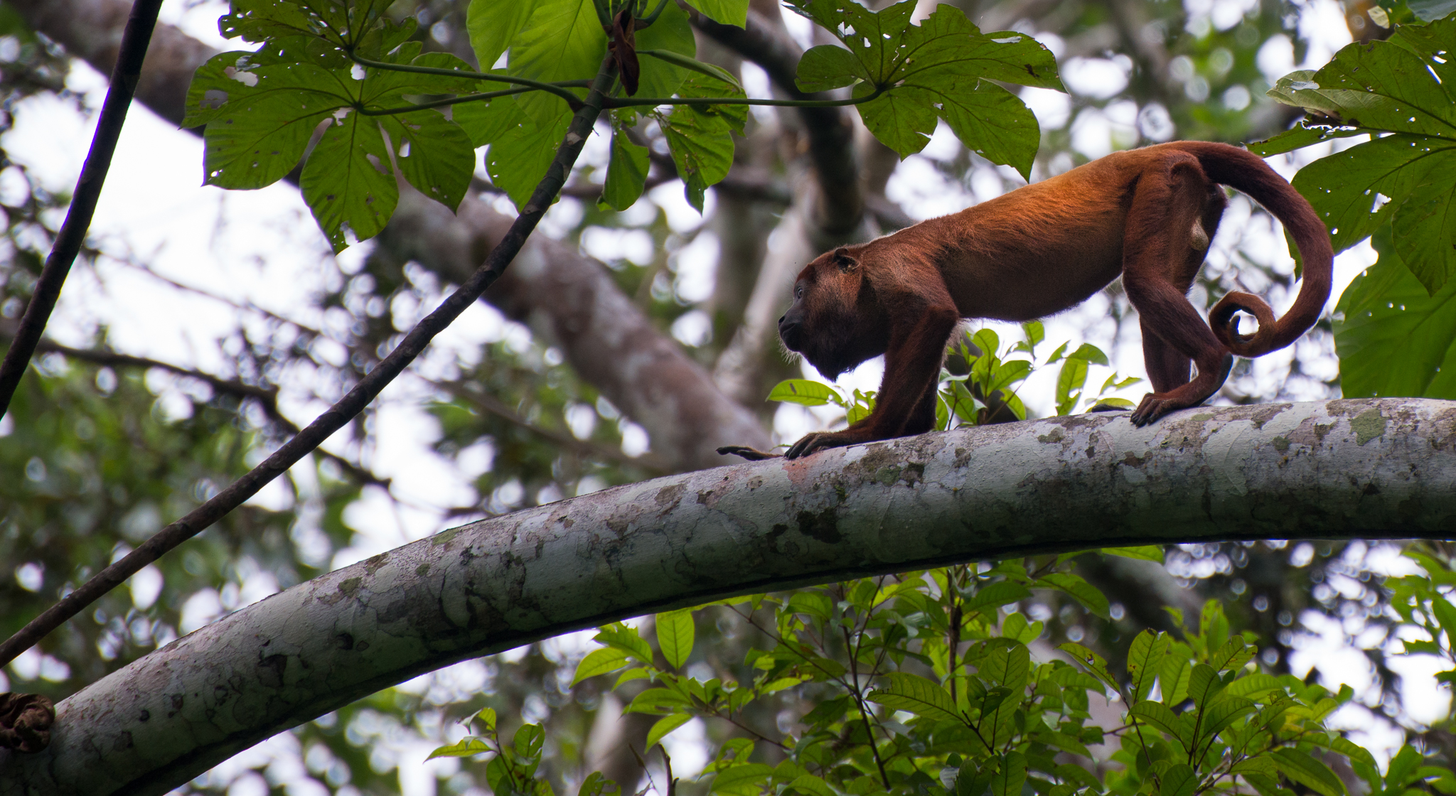 Howler monkey...the loudest animal in the rainforest of Ecuador...