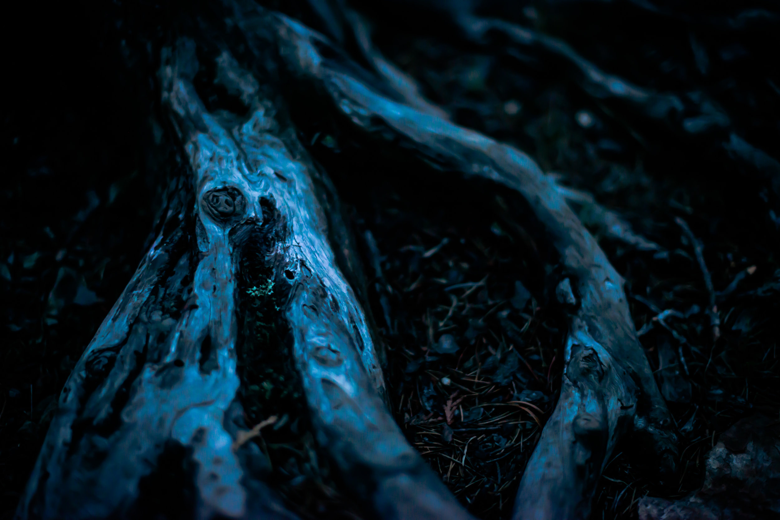 Pine Root System At Night...
