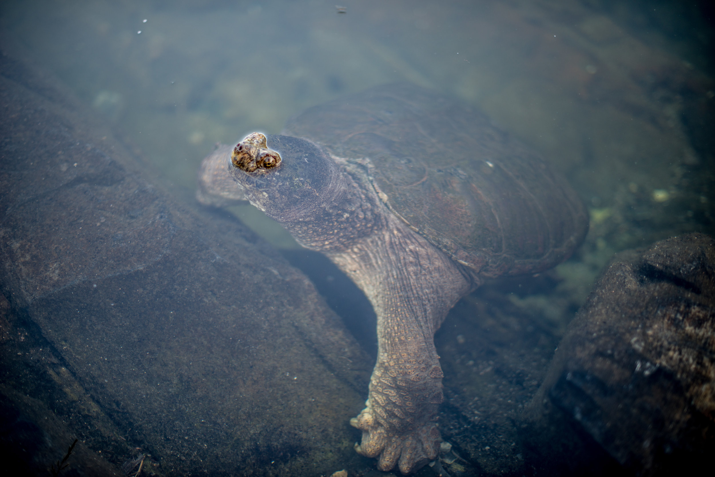 Our Friend Sam, The Snapping Turtle...