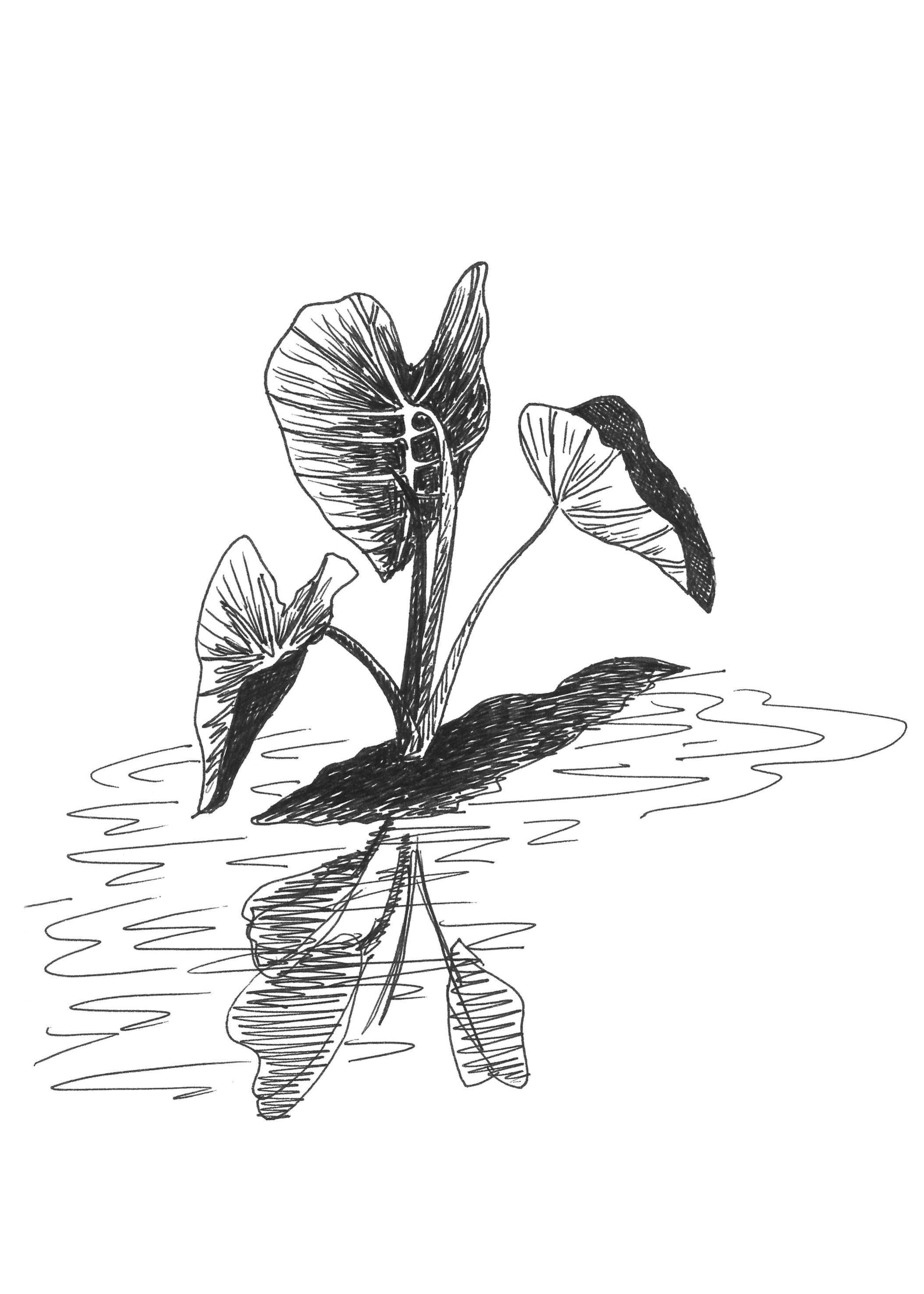 taro (5-7 ratio).png