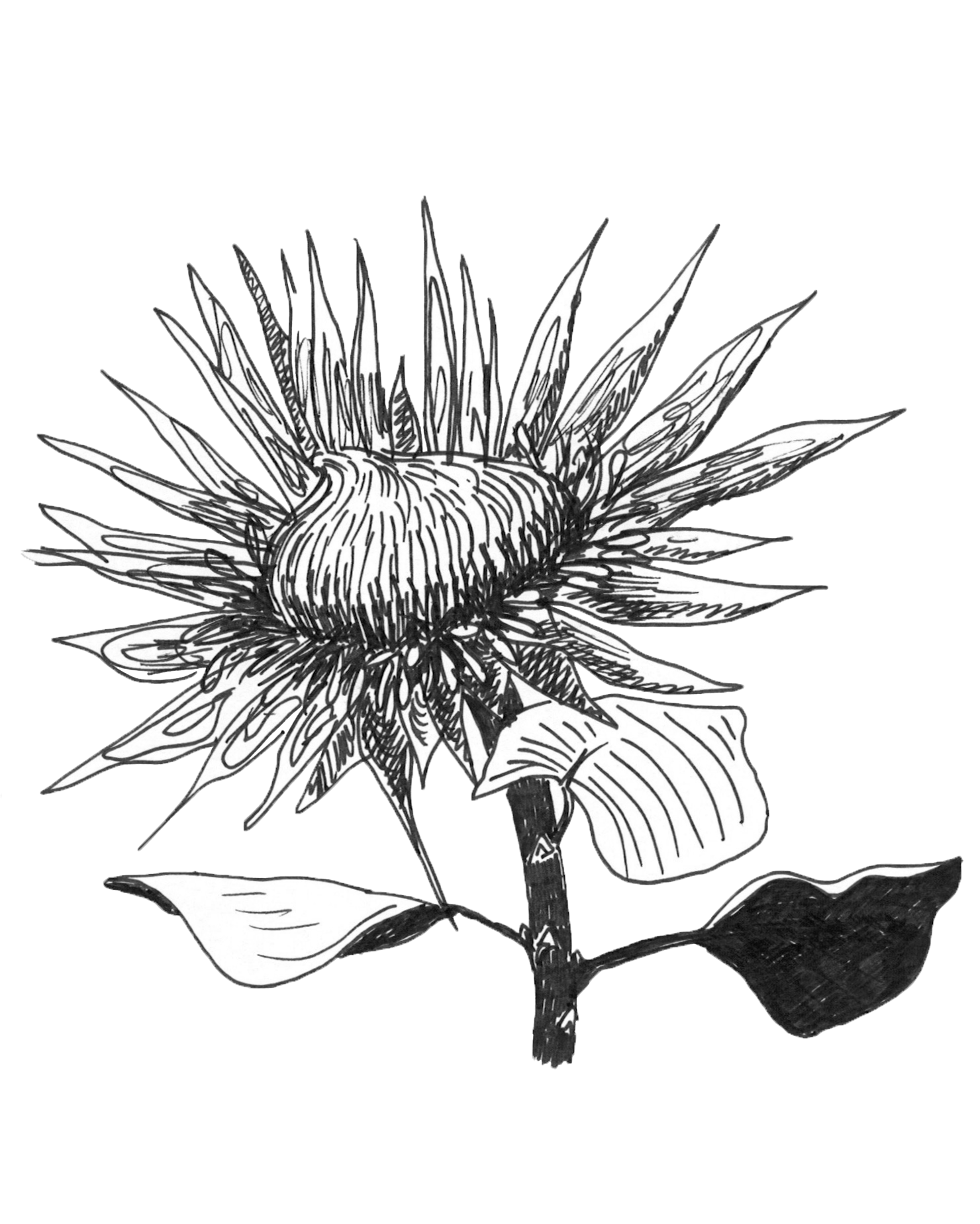 spiny protea_cleaned.png