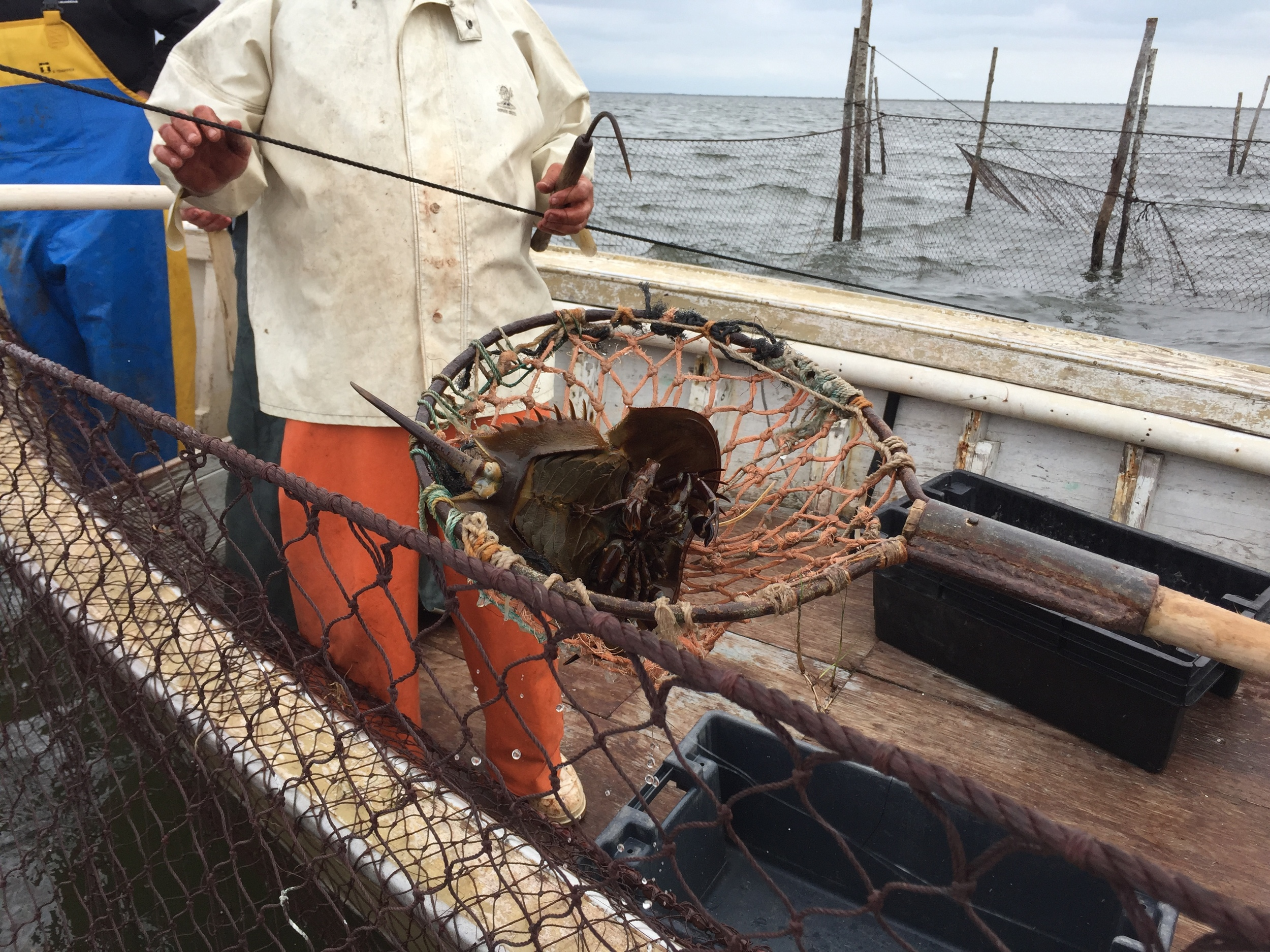 horseshoe crab being thrown back into the ocean