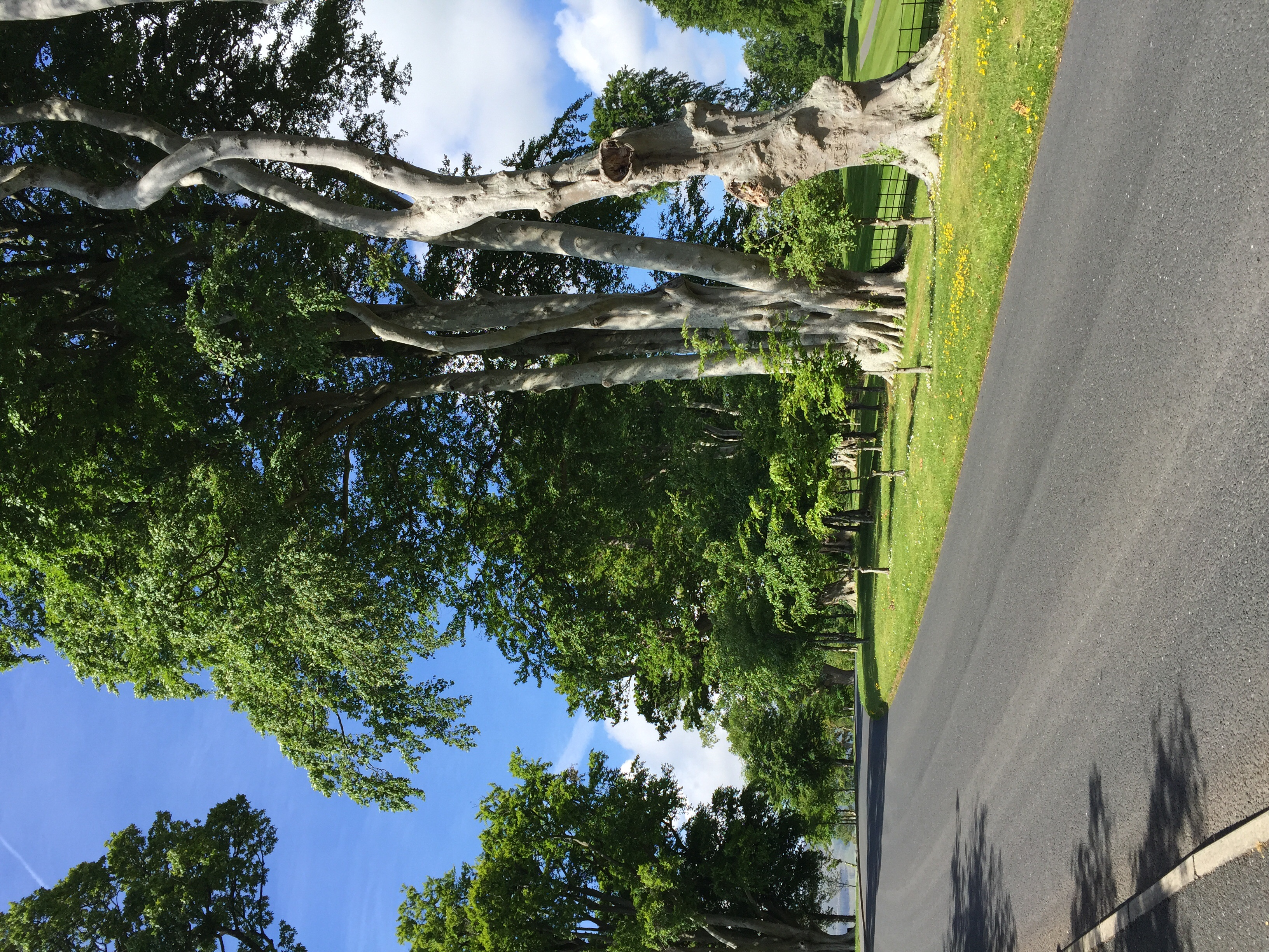 Old beech trees, golf course to the right.