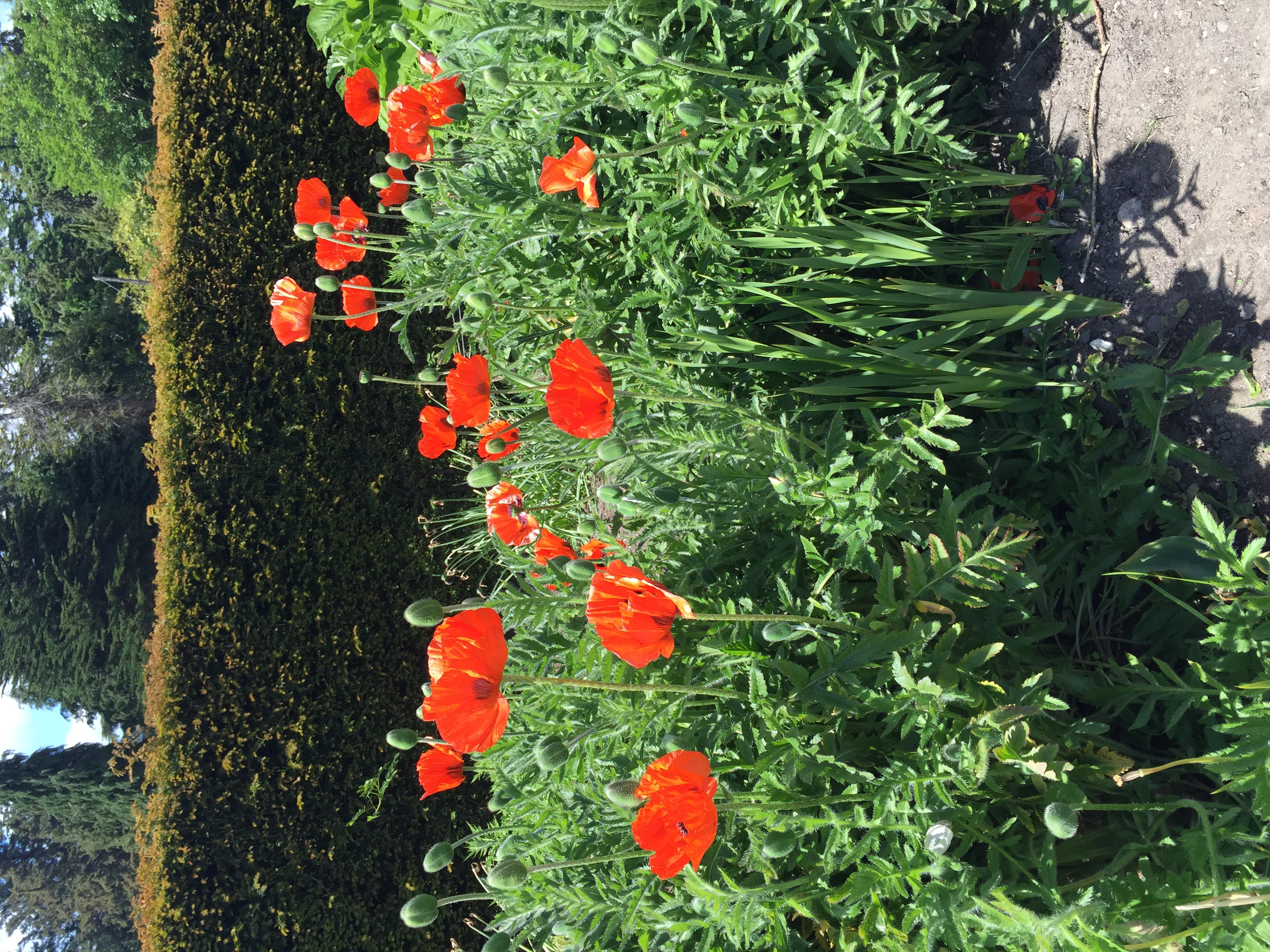And some other flowers as well...Oriental poppies...