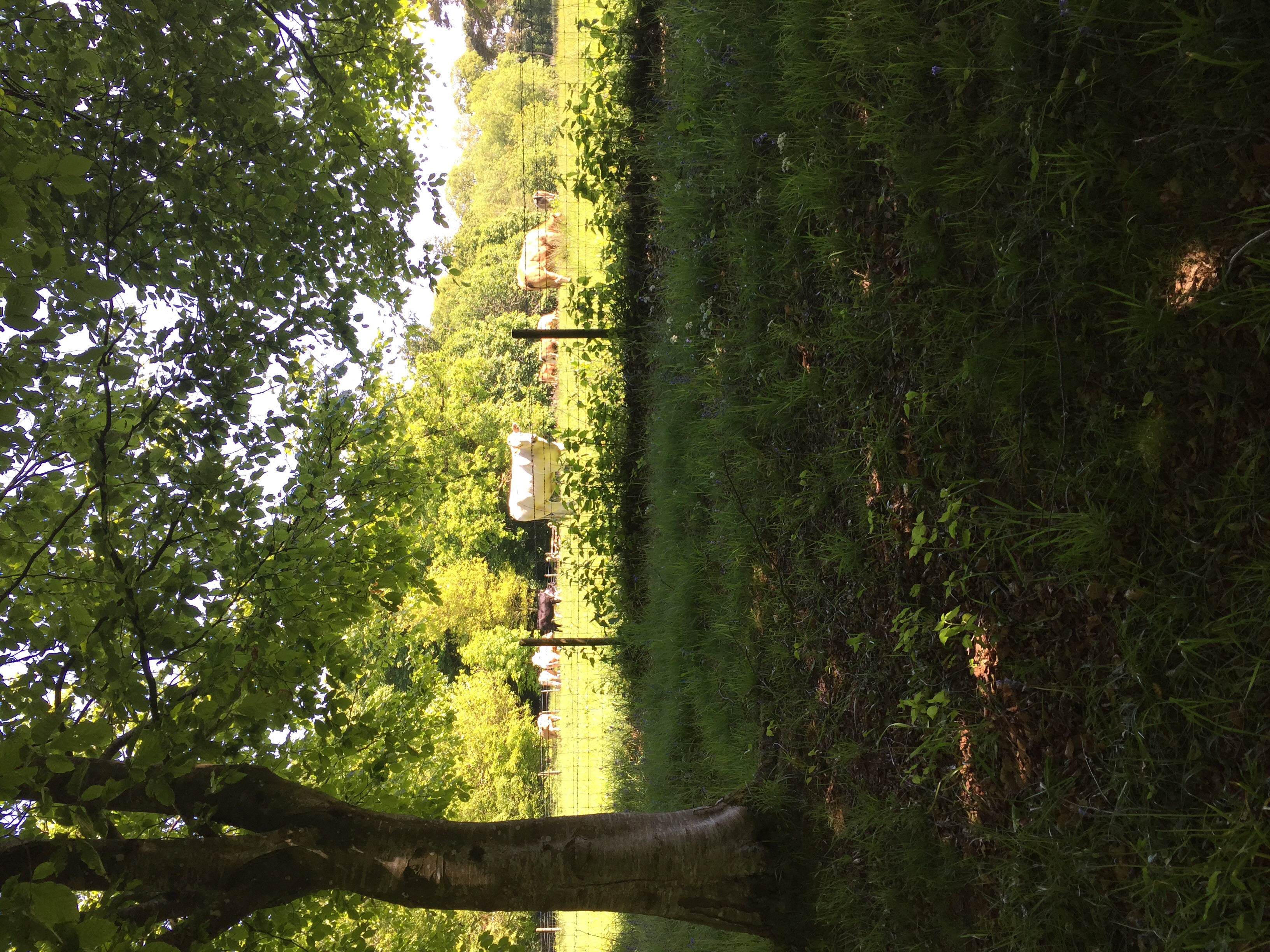 Cows munching away in the pasture next to the estate.